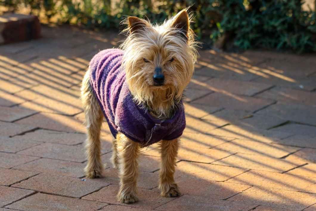 australian terrier wearing purple vest