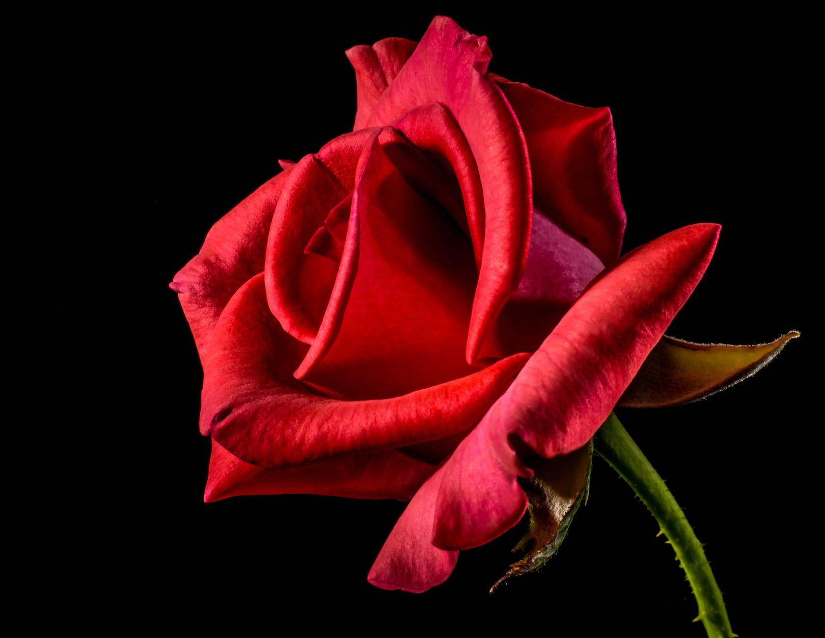 flower roses red roses bloom